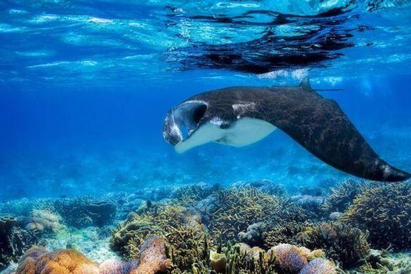 awe-barefoot-manta-underwater-1000A527AE87-1325-7B51-A496-3E90E2662B54.jpg